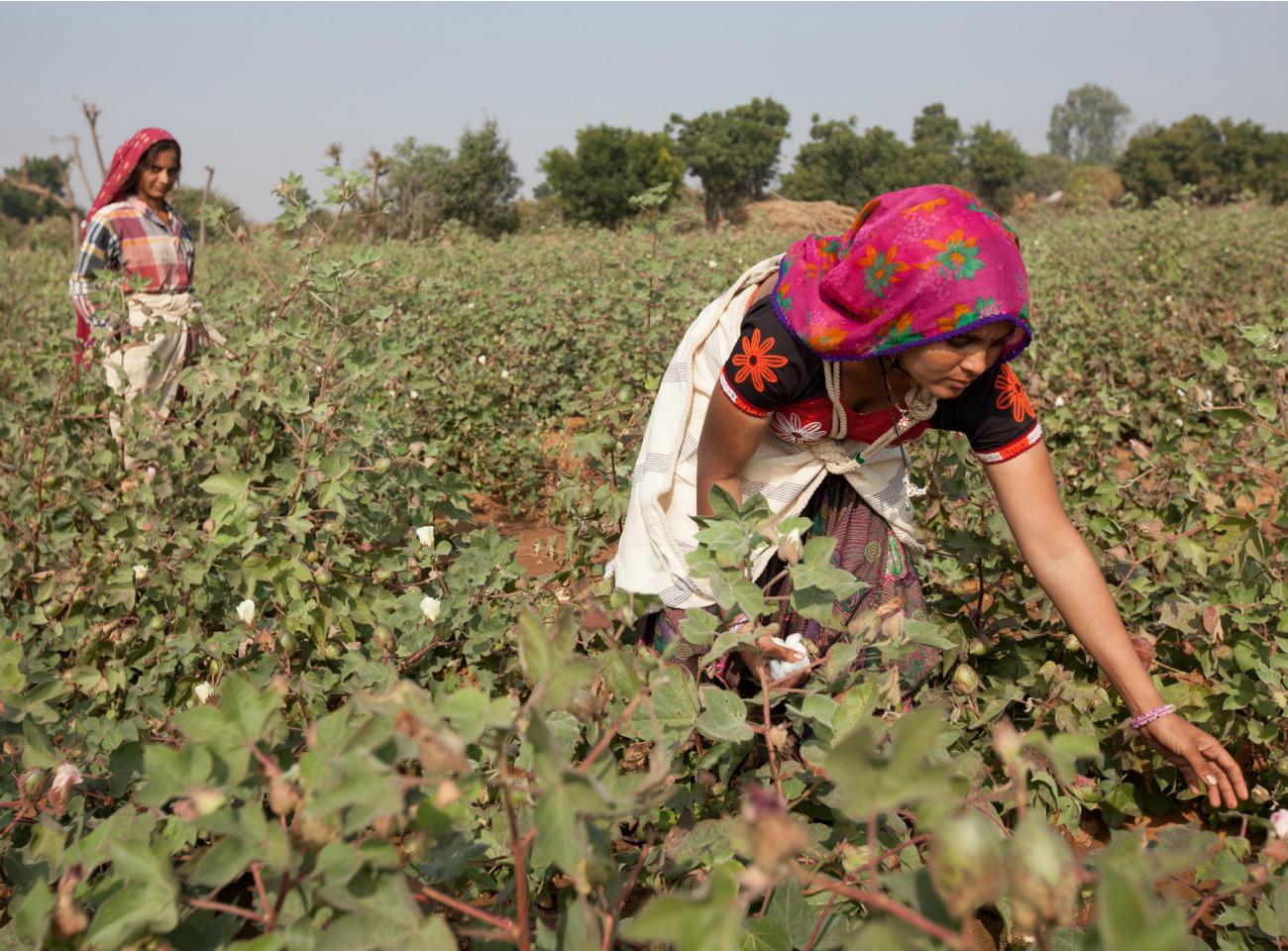 Cotton farmers working in fields in Gujarat, India