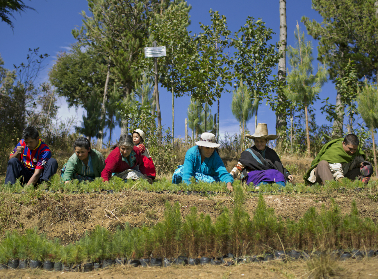 Peruvian Fairtrade farmers tending pine trees in a nursery to combat climate change