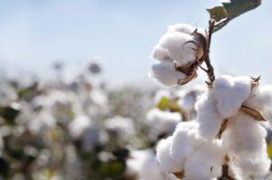 Cotton plant in flush