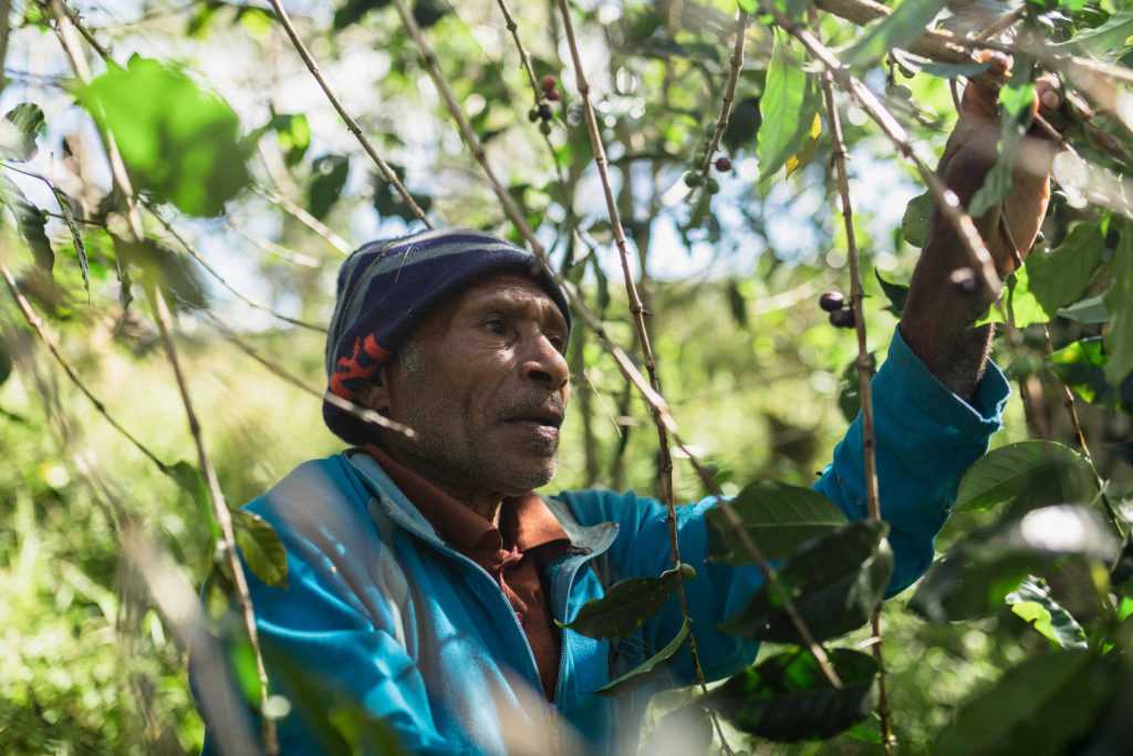 Man picking coffee in PNG