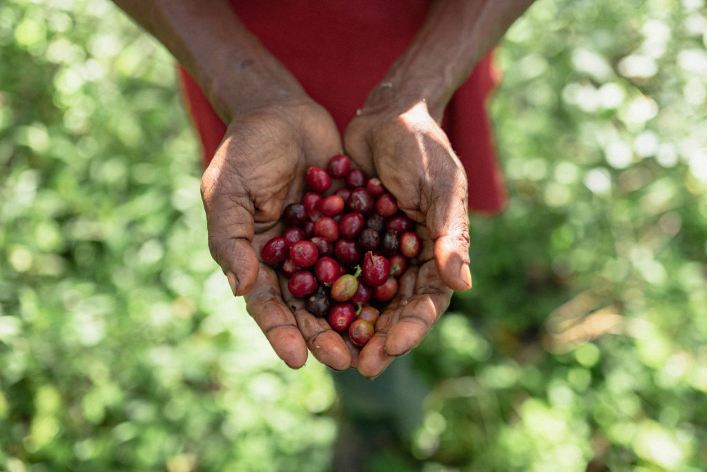 Hands holding coffee cherries in PNG