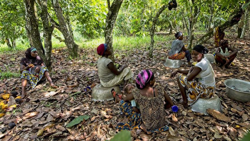 Women help in cocoa plantation