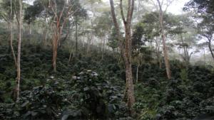 Misty coffee plantation