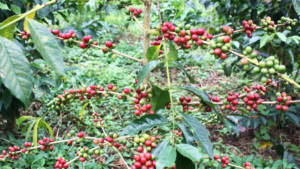Red berries on coffee plant