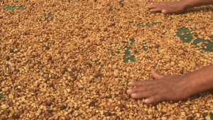 Hand in green coffee beans